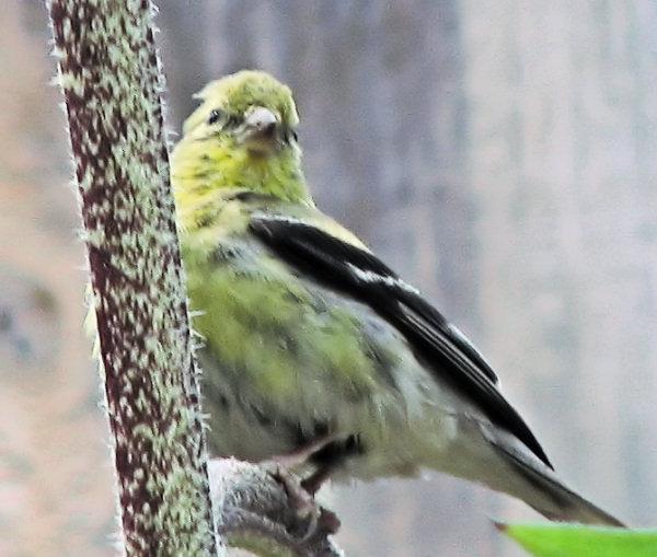 Bird on a Sunflower branch